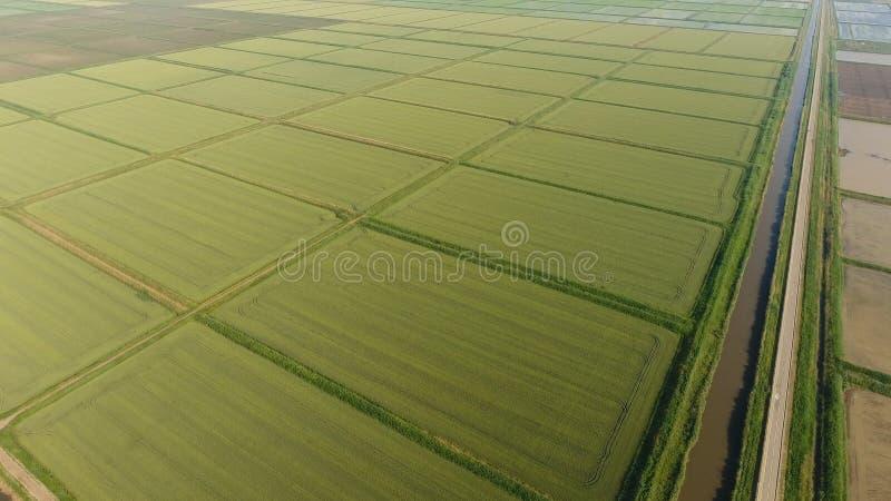 Narastający ryż na zalewających polach Dojrzali ryż w polu początek zbierać Oko widok obrazy royalty free