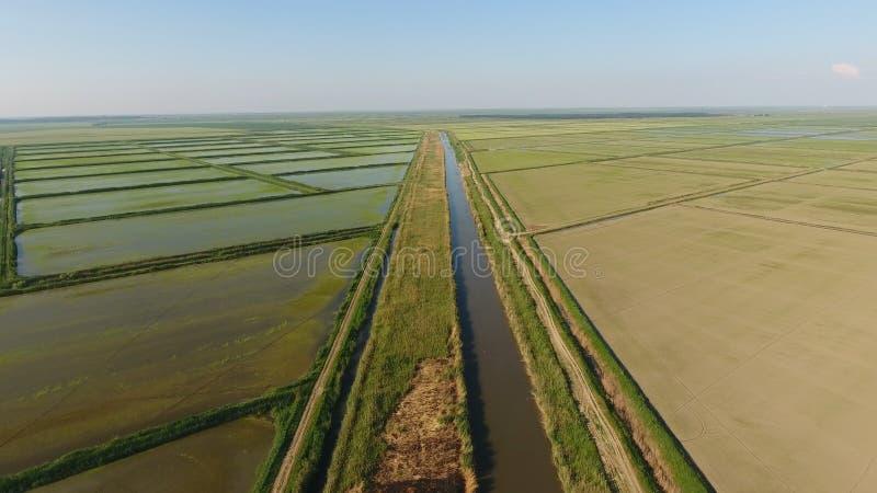 Narastający ryż na zalewających polach Dojrzali ryż w polu początek zbierać Oko widok obraz stock