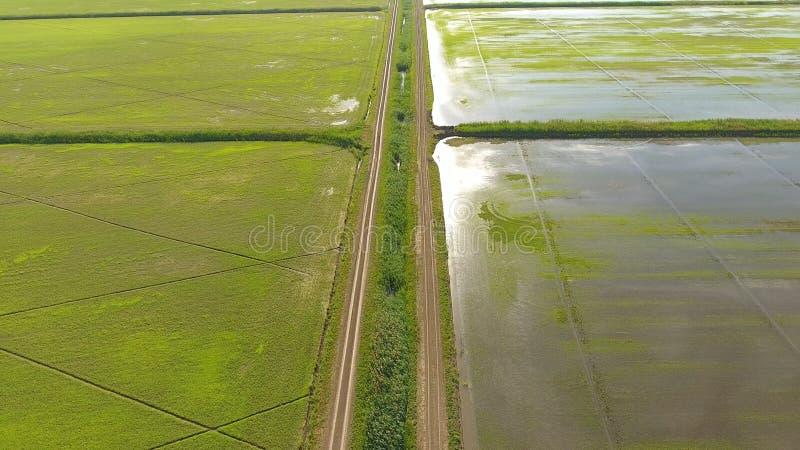 Narastający ryż na zalewających polach Dojrzali ryż w polu początek zbierać Oko widok fotografia royalty free