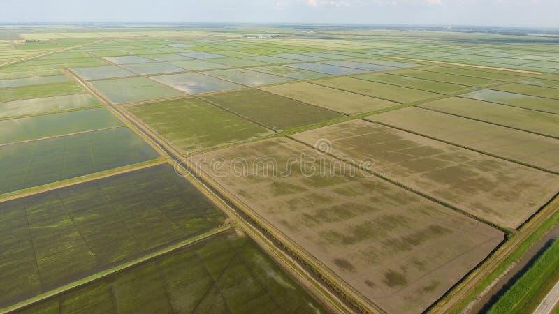 Narastający ryż na zalewających polach Dojrzali ryż w polu początek zbierać Oko widok fotografia stock