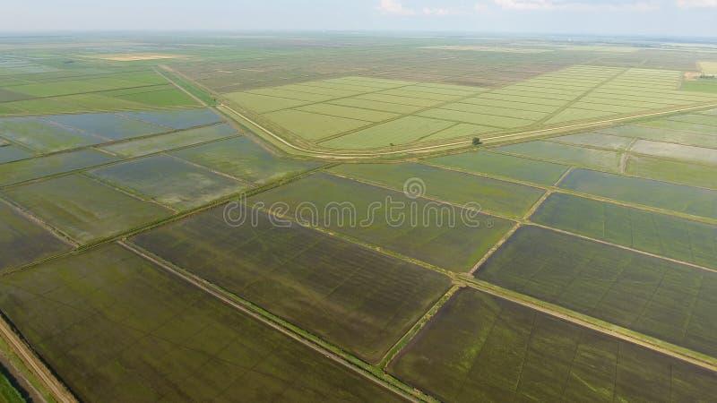 Narastający ryż na zalewających polach Dojrzali ryż w polu początek zbierać Oko widok obrazy stock
