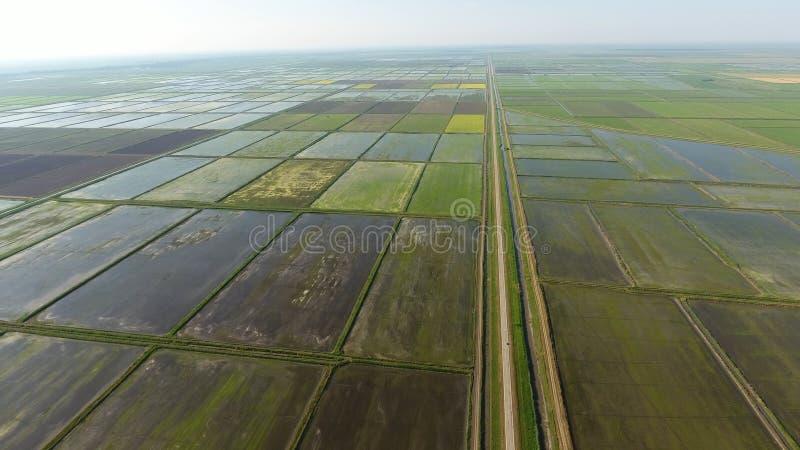 Narastający ryż na zalewających polach Dojrzali ryż w polu początek zbierać Oko widok zdjęcie royalty free