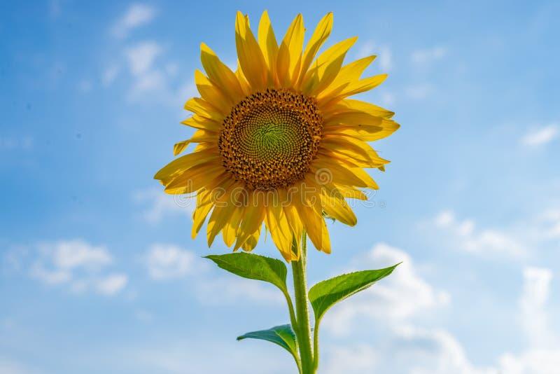 Narastający słonecznik - Najwięcej lato kwiatu jak żadny inny roślina zdjęcie stock
