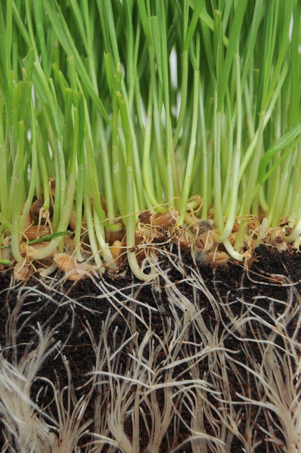 narastający trawa korzenie obrazy stock