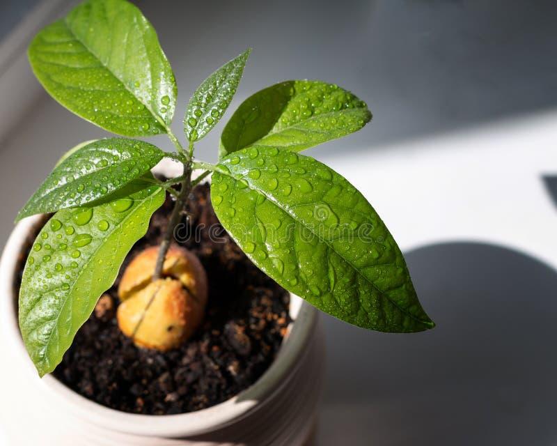 Narastaj?cy avocado ziarno z zielonymi li??mi fotografia stock