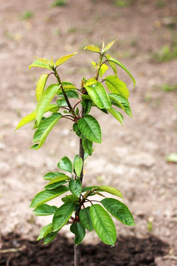 Narastaj?cy drzewo w ogr?dzie botany bukowi Canada drzewa young zdjęcie royalty free