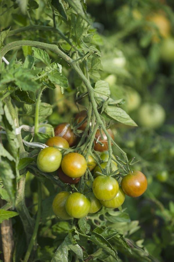 Download Narastający pomidory obraz stock. Obraz złożonej z farm - 57669647