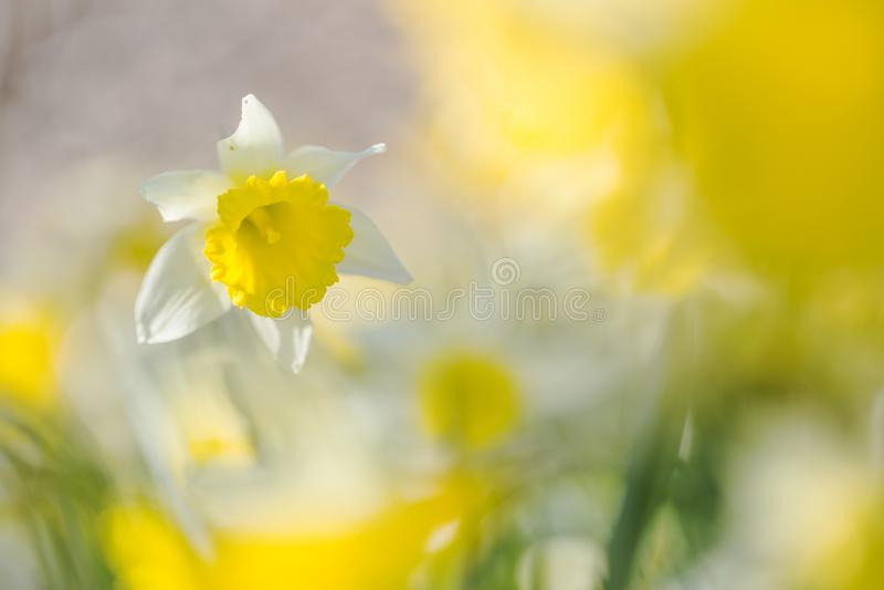 Narcis de Wilde, narciso amarelo selvagem, pseudonarcissus do narciso fotografia de stock