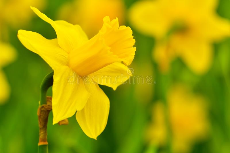 Narcis int the garden - yellow color - detail. Photo. Marophotography. Narcissus is a genus of predominantly spring perennial plants of the Amaryllidaceae royalty free stock photo