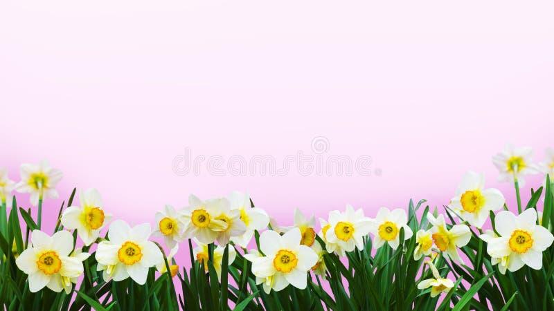 Narcisi bianchi luminosi che incorniciano una foto con un fondo delicato immagine stock