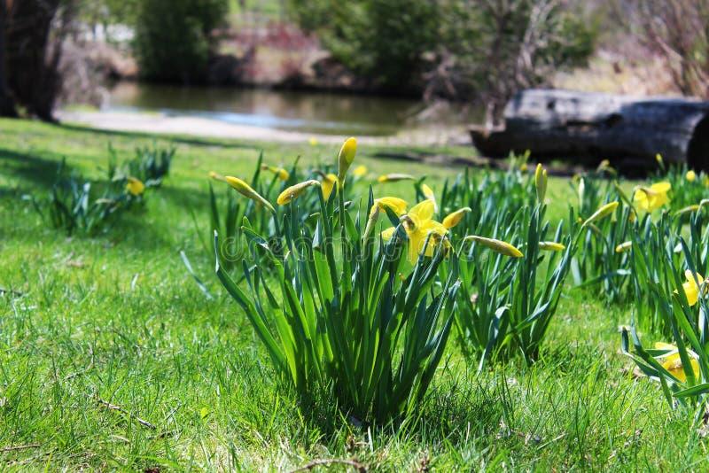 Narcisi della primavera fotografia stock