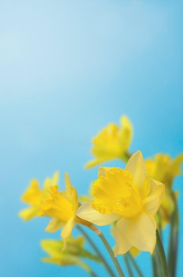 Narcisi della primavera contro cielo blu immagine stock libera da diritti