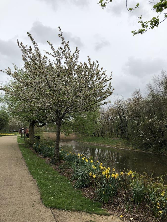 Narcisi della primavera dal fiume immagine stock