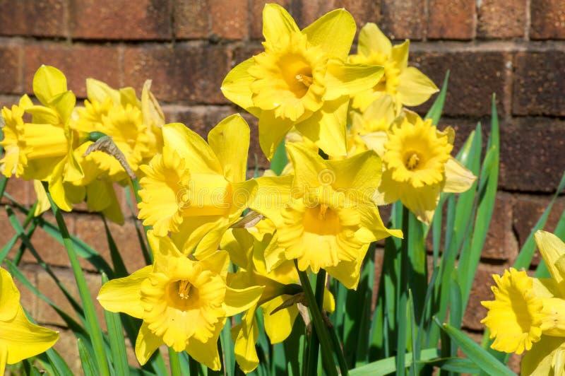 Narcisi gialli al sole immagini stock