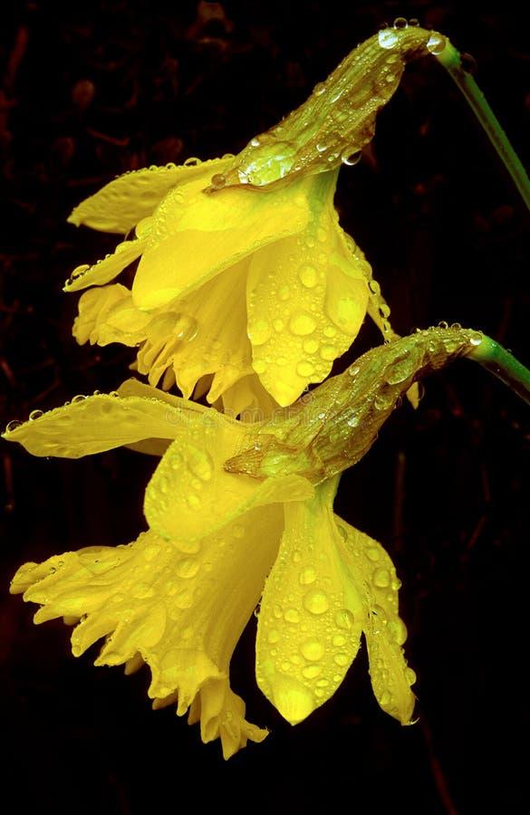 Narcisi gialli con le goccioline di acqua fotografia stock libera da diritti