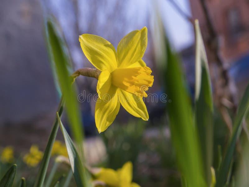 Narcisi gialli di fioritura in primavera fotografia stock libera da diritti