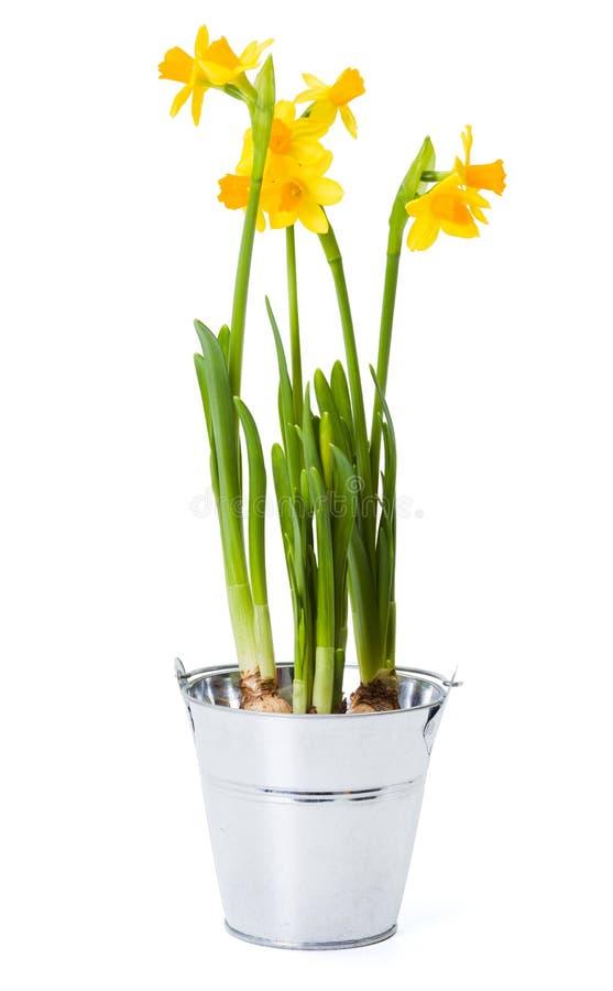 Download Narcisi In Vaso Della Latta Immagine Stock   Immagine Di Nasals,  Molla: 38883341