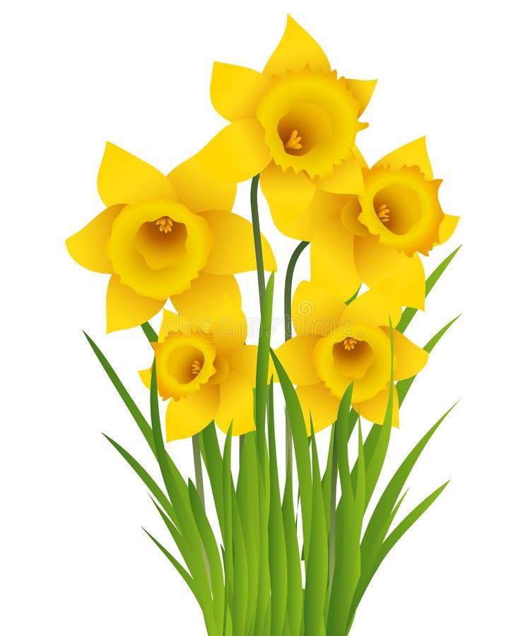 Narciso amarelo ilustração royalty free