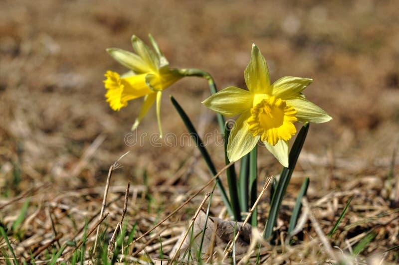 Narciso amarelo fotos de stock royalty free