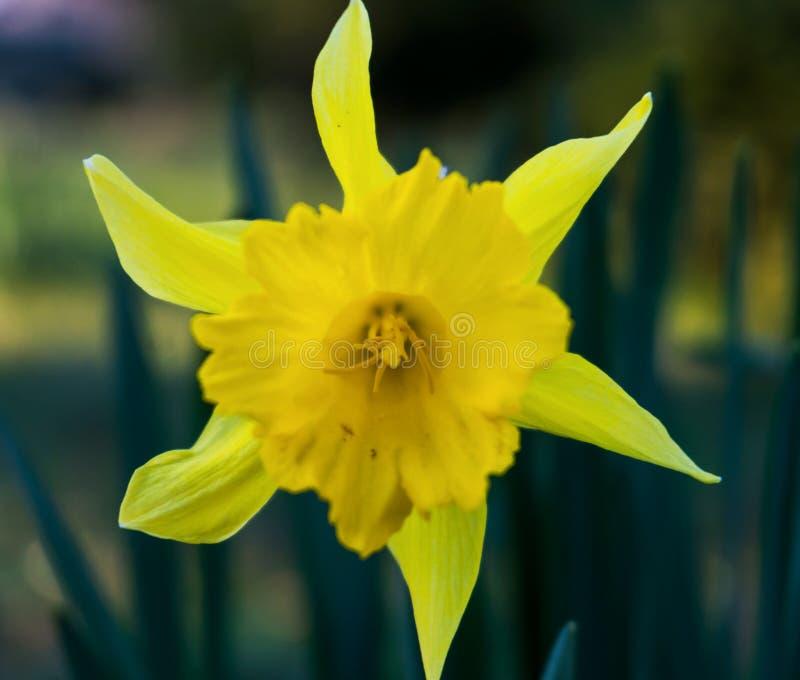 Narciso amarelo amarelo fotografia de stock royalty free