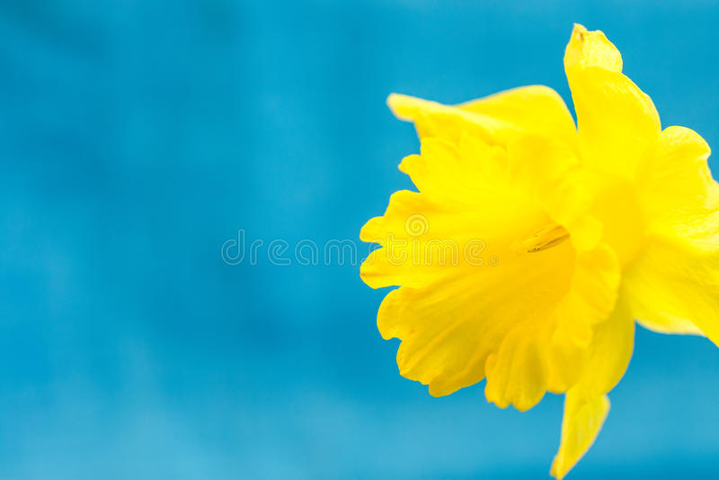 Narciso amarelo amarelo na luz - fundo azul, macro, sumário, copyspace para o texto, molde do cartão fotos de stock royalty free