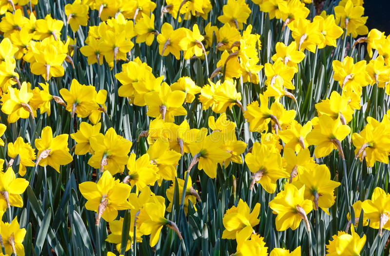 Narciso amarelo (close-up) imagens de stock royalty free