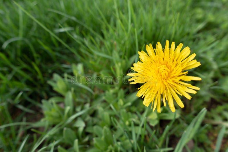 Narciso amarelo amarelo com uma profundidade de campo rasa - imagem fotografia de stock royalty free