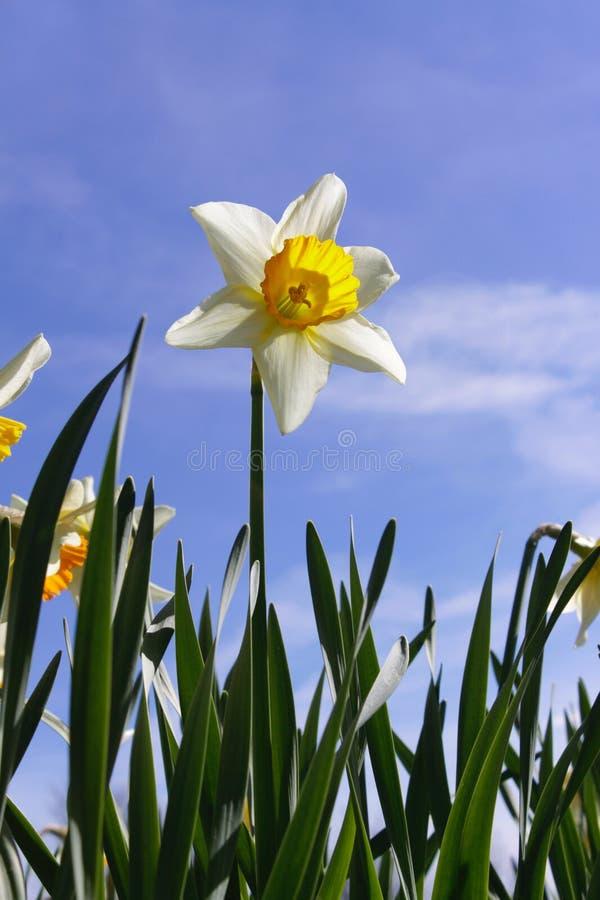Narciso amarelo contra o c?u azul foto de stock