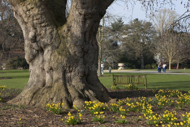 Narciso amarelo da trombeta na luz solar do fim da tarde Mola, jardins Londres de Kew foto de stock