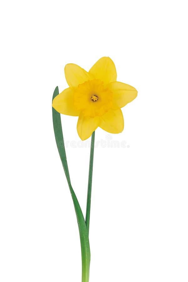 Narciso amarelo em um branco imagem de stock