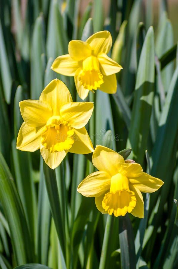 Narciso amarelo - narciso amarelo em um fundo verde Narciso amarelo do narciso da flor da mola, close-up no jardim Jonquil #01 fotografia de stock royalty free