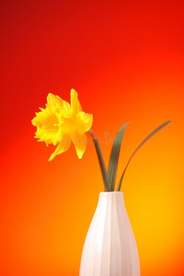 Narciso amarelo em um vaso fotografia de stock royalty free