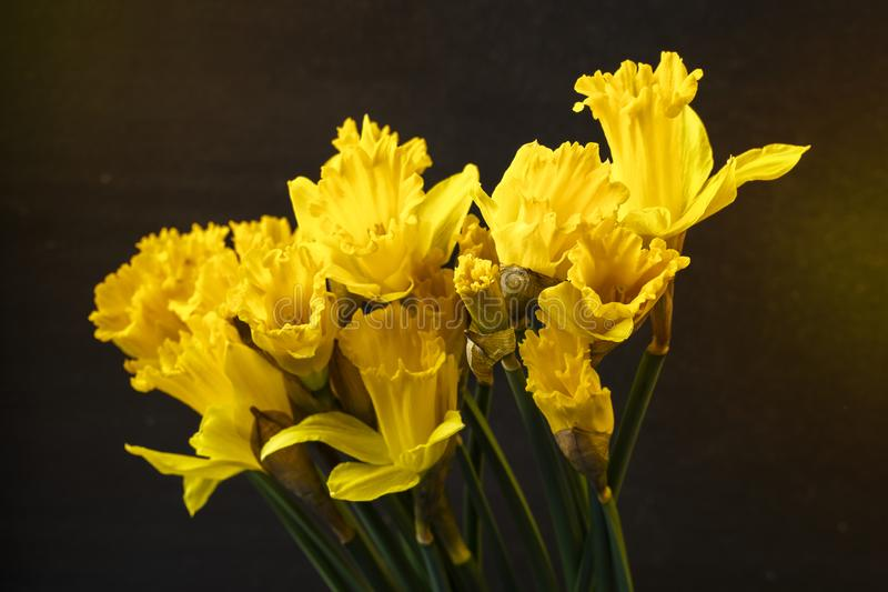 Narciso amarelo amarelo Florescência das flores fotos de stock