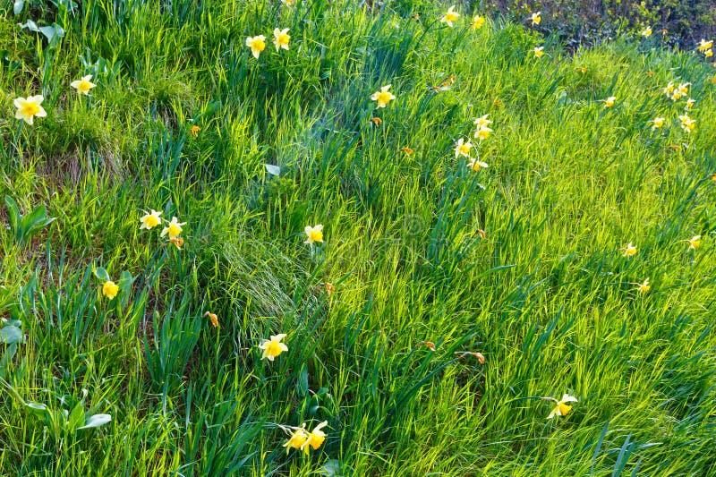 Narciso amarelo (fundo da mola) fotos de stock royalty free