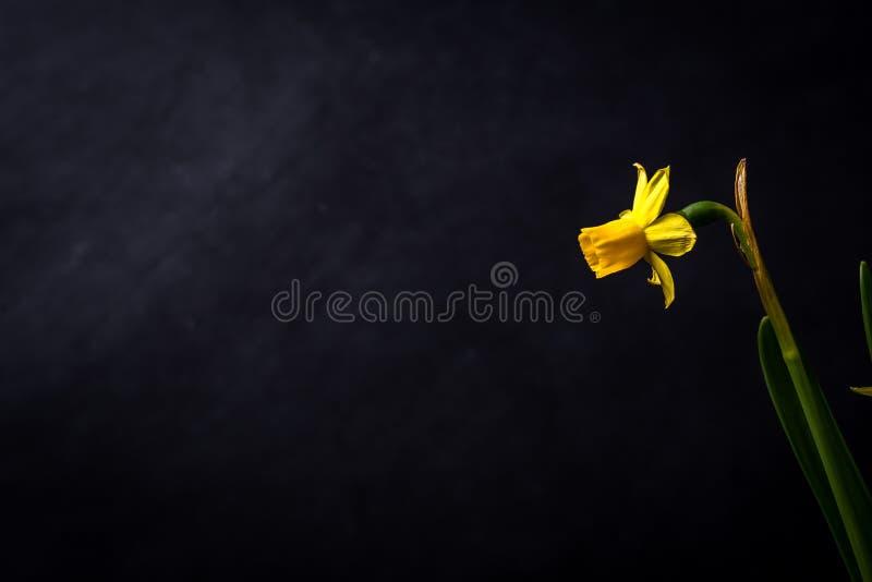 Narciso amarelo isolado em uma gota traseira do quadro imagens de stock