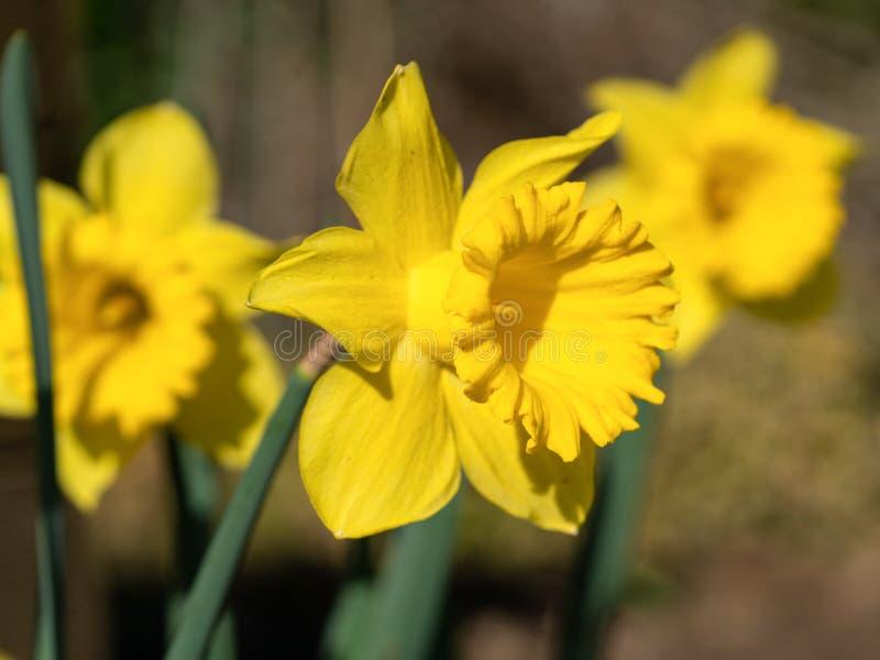 Narciso amarelo, Narcissus Pseudonarcissus fotos de stock