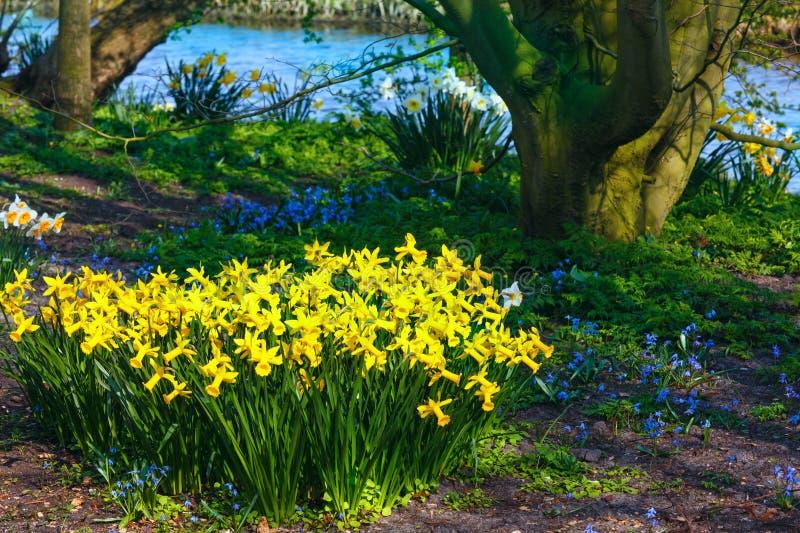 Narciso amarelo no parque fotos de stock