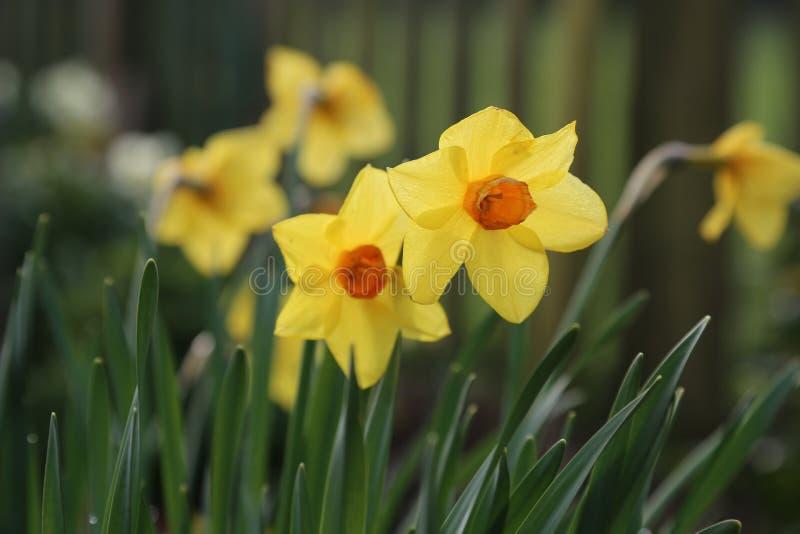 Narciso amarelo - o outro int borrado Dafodills ele fundo fotos de stock royalty free