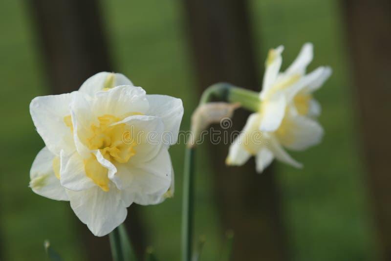 Narciso amarelo - outros narcisos amarelos borrados no fundo foto de stock