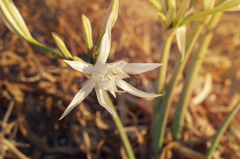 Narciso amarelo peruano Flor de Ismene no custo do mar da Creta fotos de stock