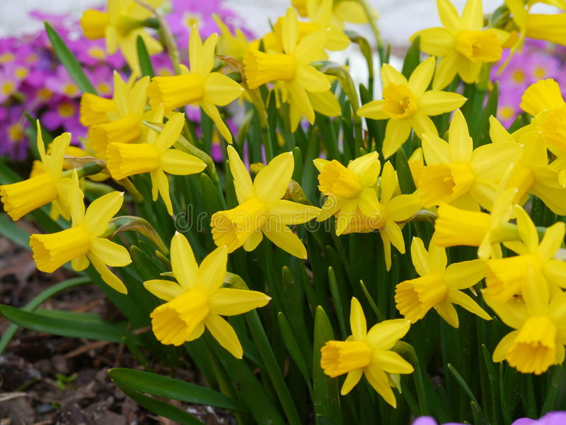 Narciso amarelo selvagem fotografia de stock royalty free
