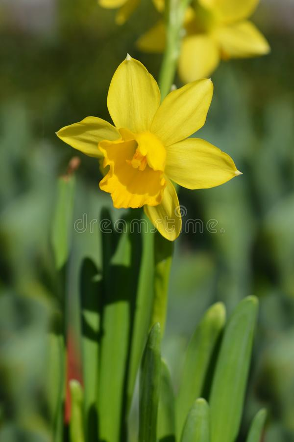 Narciso amarelo Tete um Tete imagem de stock royalty free