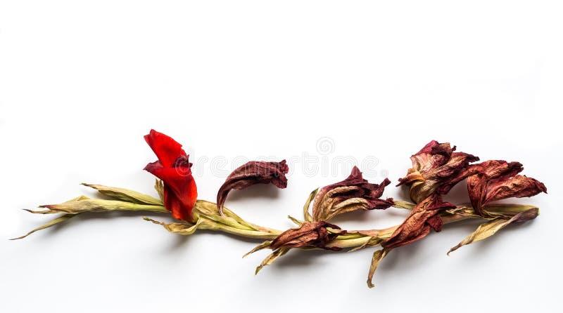 Narciso amarelo vermelho foto de stock royalty free