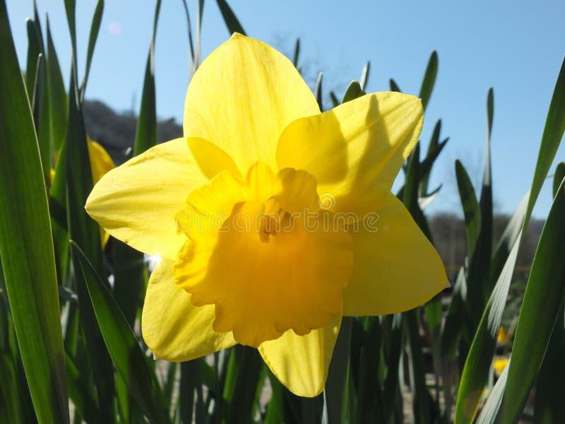 Narciso amarillo brillante de la primavera con pensamiento brillante de la luz del sol los pétalos contra un cielo azul brillante fotos de archivo