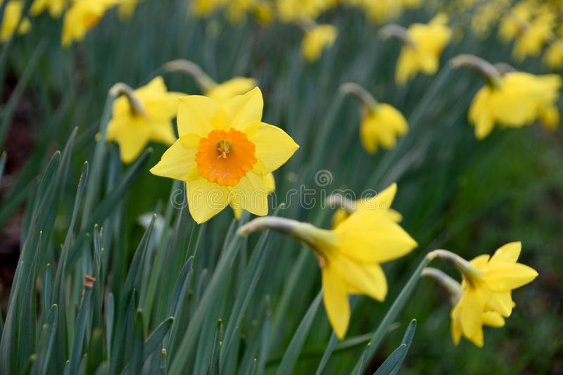 Narciso amarillo de la flor imagen de archivo