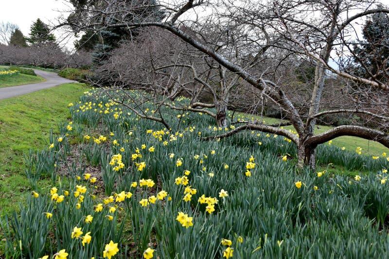 Narciso amarillo de la flor imágenes de archivo libres de regalías
