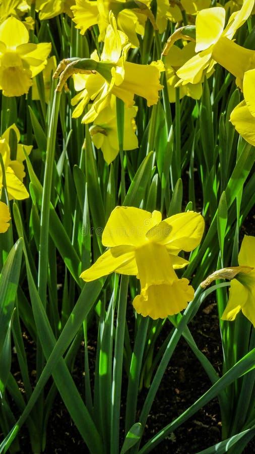Narciso amarillo soleado foto de archivo