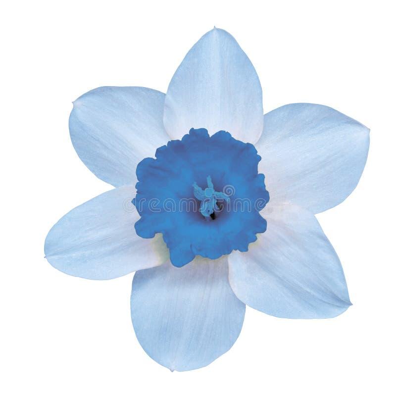 Narciso bianco blu del fiore, isolato su un fondo bianco con il percorso di ritaglio Primo piano fotografia stock