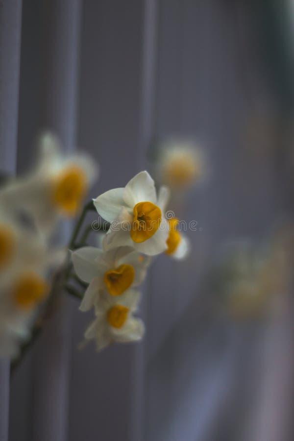 Narciso bianco piacevole nel fondo confuso luminoso in molla in anticipo, narciso maltese, narcis, narcisi del fiore su un backgr fotografie stock
