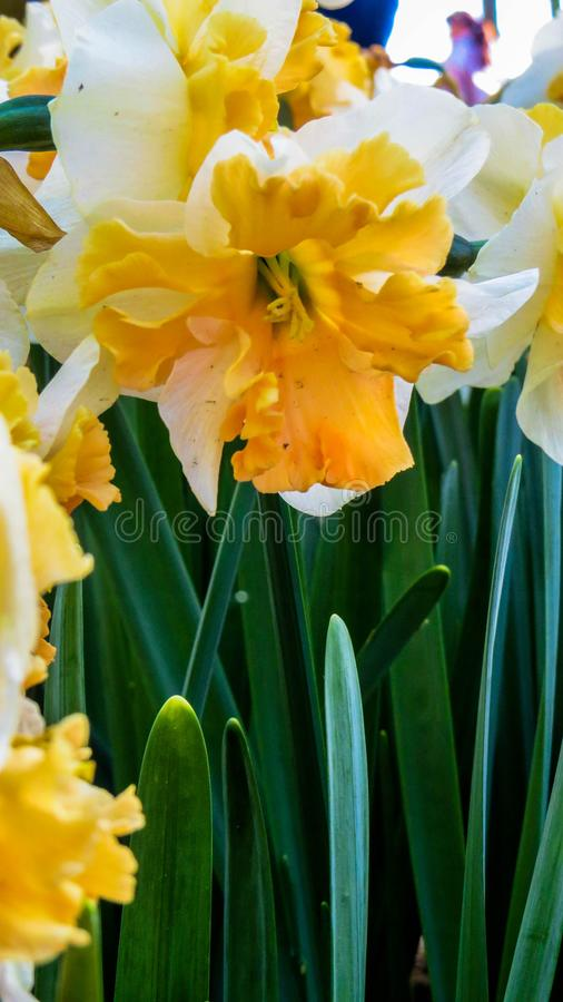 Narciso bicolor brilhante fotos de stock